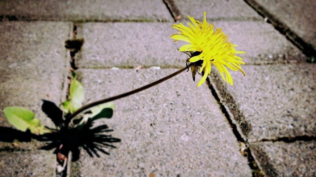 dandelion growing in sidewalk