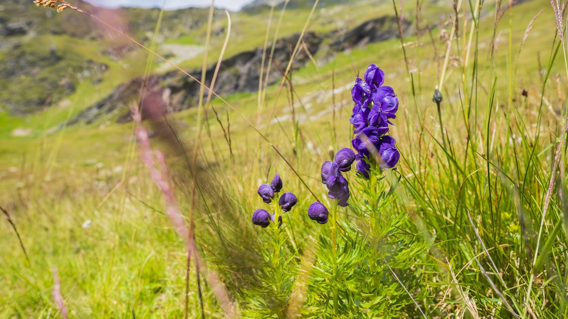 aconite purple flowers in a field